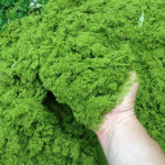 Watermeal – A Fascinating Plant